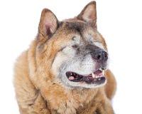 Nahaufnahme von blinder Akita Dog Lizenzfreies Stockbild