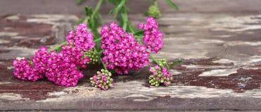 Nahaufnahme von Blume achillea millefolium, allgemein bekannt als Schafgarbe oder gemeine Schafgarbe auf rustikalen verwitterten  Lizenzfreie Stockbilder