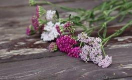 Nahaufnahme von Blume achillea millefolium, allgemein bekannt als Schafgarbe oder gemeine Schafgarbe auf rustikalen verwitterten  Stockfotos