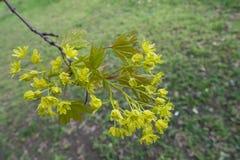 Nahaufnahme von Blumen von Acer-platanoides Stockbild