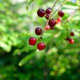 Nahaufnahme von Chokecherries (Prunus virginiana) mit Tautropfen Stockfotos