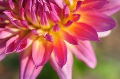 Nahaufnahme von Dahlienblumenblättern lizenzfreies stockfoto