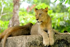 Nahaufnahme von den afrikanischen Löwejungsaugen geschlossen Stockfotos