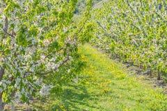 Nahaufnahme von den Apfelbaumasten, die im weißen Apfel umfasst werden, blüht im Obstgarten stockfotografie