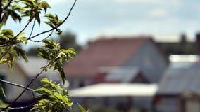 Nahaufnahme von den Baumasten, die in Wind beeinflussen Grüne Blätter auf den Niederlassungen des Baums beeinflussend in Wind auf stockfotos