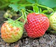 Nahaufnahme von den frischen organischen Erdbeeren, die auf dem Garten wachsen stockfotografie