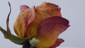 Nahaufnahme von den getrockneten Rosen, die auf einen weißen Hintergrund sich drehen stock footage
