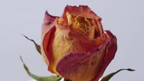 Nahaufnahme von den getrockneten Rosen, die auf einen weißen Hintergrund sich drehen stock video