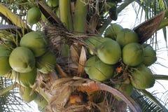 Nahaufnahme von den grünen Kokosnüssen, die in der Palme wachsen stockbilder