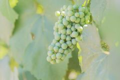Nahaufnahme von den grünen Trauben, die auf Weinstock im Weinberg reifen Lizenzfreie Stockfotos