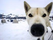 Nahaufnahme von den heiseren Schlittenhunden, die zum Brei fertig werden Stockfoto