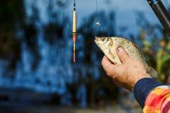 Nahaufnahme von den männlichen Händen, die Fische crucian halten Der Fischer, der einen Fisch hält, fing auf einem Hintergrund de Stockfotografie