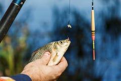 Nahaufnahme von den männlichen Händen, die Fische crucian halten Der Fischer, der einen Fisch hält, fing auf einem Hintergrund de Lizenzfreies Stockfoto