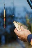 Nahaufnahme von den männlichen Händen, die Fische crucian halten Der Fischer, der einen Fisch hält, fing auf einem Hintergrund de Stockbild