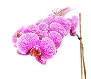 Nahaufnahme von den Orchideen-Blumen lokalisiert auf Weiß lizenzfreie stockfotos