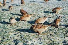 Nahaufnahme von den Spatzen, die Krumen des Brotes auf Steinen essen, bedeckte wi Stockfotografie