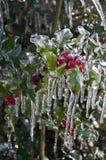 Nahaufnahme von den Stechpalmenbeeren bedeckt mit Eis auf Stechpalmenstrauch Stockbild