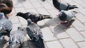 Nahaufnahme von den Tauben und von Enten, die dynamisch Brot im Stadt Park essen stock video