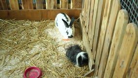 Nahaufnahme von den wei?en flaumigen Kaninchen, die in einem K?fig essen Nette flaumige H?schen stock video