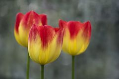 Nahaufnahme von drei gelb und von roten Tulpen lizenzfreies stockbild