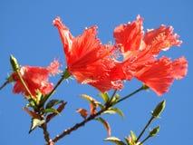 Nahaufnahme von drei roten Blumen gegen den blauen Himmel stockfotografie