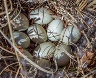 Nahaufnahme von Duck Eggs Stockfotografie