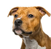 Nahaufnahme von einem amerikanischen Staffordshire Terrier Stockbild