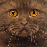 Nahaufnahme von einem britischen Shorthair, 20 Monate alte Stockbild