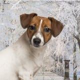 Nahaufnahme von einem Jack Russel in einer Winterlandschaft Stockfoto