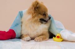 Nahaufnahme von einem Pomeranian Stockbild