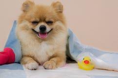 Nahaufnahme von einem Pomeranian Lizenzfreie Stockfotografie