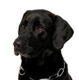 Nahaufnahme von einem schwarzen Labrador Stockbilder