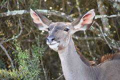 Nahaufnahme von einem weiblichen Kudu in Addo Elephant Park in Colchester, Südafrika Lizenzfreie Stockfotos