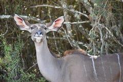 Nahaufnahme von einem weiblichen Kudu in Addo Elephant Park in Colchester, Südafrika Lizenzfreies Stockbild