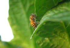 Nahaufnahme von einer Biene auf einem grünen Blatt durch Tageslicht Stockfotos