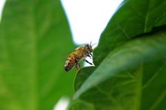 Nahaufnahme von einer Biene auf einem grünen Blatt durch Tageslicht Stockfoto