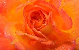 Nahaufnahme von einer orange Rose lizenzfreies stockbild