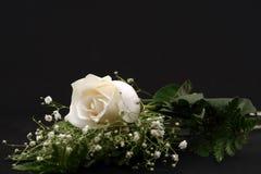 Nahaufnahme von einer weißen Rose Stockbild