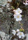 Nahaufnahme von einigen weiße Blume blüht auf dem Stamm eines japanischen Yoshino-Kirschbaums Lizenzfreies Stockfoto