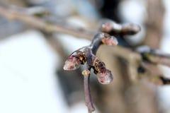 Nahaufnahme von eisigen Zweigen von Apfelbäumen im Winter lizenzfreie stockfotos
