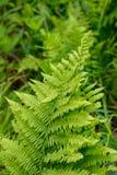 Nahaufnahme von Fern Plant an einem Wildflower-Garten Lizenzfreies Stockfoto
