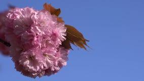 Nahaufnahme von früh-blühender Kirschblüte Japan-Kirschblütenblumenblätter auf dem blauen Himmel Keine Wolken im Hintergrund stock video