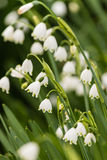 Nahaufnahme von Frühlingsschneeflockenblumen Lizenzfreie Stockbilder