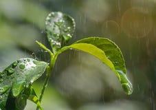 Nahaufnahme von frische grüne Teeblätter mit Regentropfen und Sonnenscheinaufflackern stockbilder