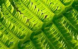 Nahaufnahme von frischem grünem Fern Leaf Natürlicher Hintergrund Stockfoto
