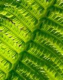 Nahaufnahme von frischem grünem Fern Leaf Natürlicher Hintergrund Stockbilder