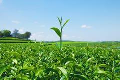 Nahaufnahme von frischen grünen Teeblättern an der Teeplantage mit blauem Himmel und Wolke stockfotos