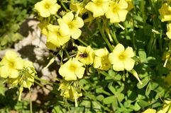 Nahaufnahme von gelbem gemeinem hölzernem Sorrel Flowers mit einer Biene, die Blütenstaub, Oxalis Acetosella sammelt Stockfoto
