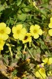 Nahaufnahme von gelbem gemeinem hölzernem Sorrel Flowers mit einer Biene, die Blütenstaub, Oxalis Acetosella sammelt Stockbilder