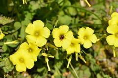 Nahaufnahme von gelbem gemeinem hölzernem Sorrel Flowers mit einer Biene, die Blütenstaub, Oxalis Acetosella sammelt Stockfotos